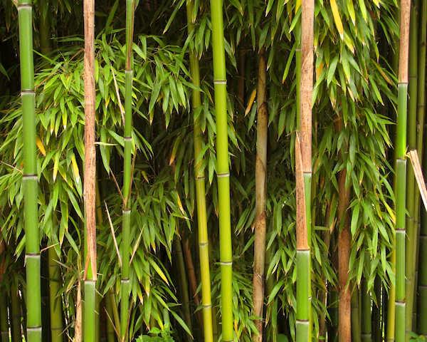 Cultivation And Use Of Bamboo In China