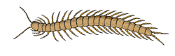 centipede, insect