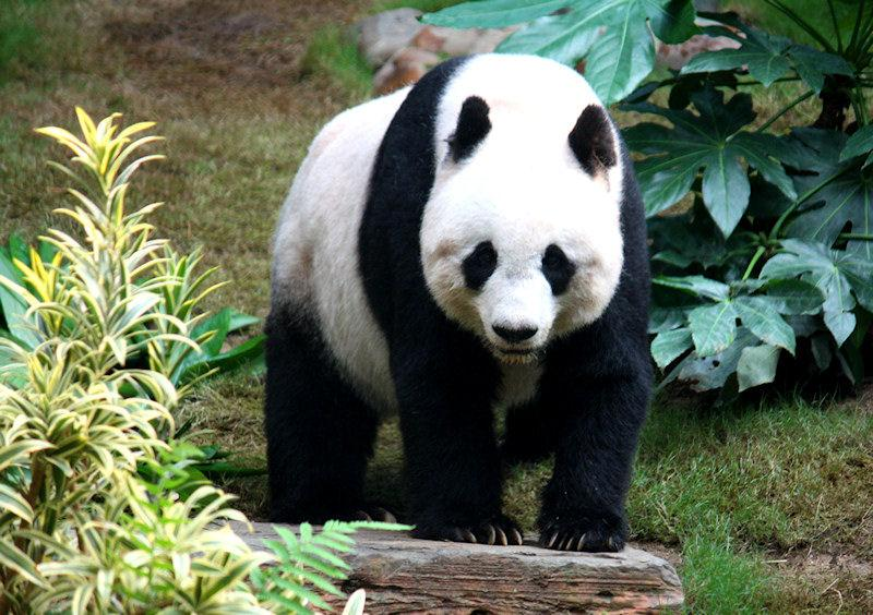 Giant Panda, wildlife
