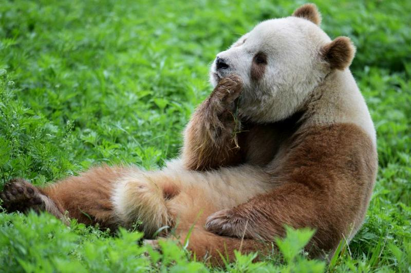 Giant Pandas - China's most loved animal
