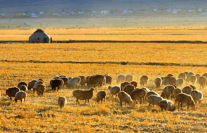 Xinjiang, sheep, yurt