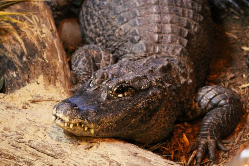 chinese wildlife, chinese alligator, Alligator sinensis