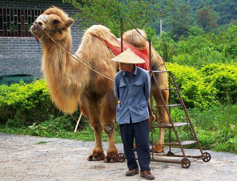 chinese wildlife, Bactrian Camel,  Camelus bactrianus