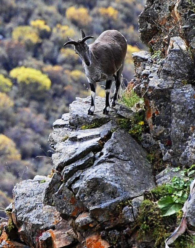 chinese wildlife, blue sheep