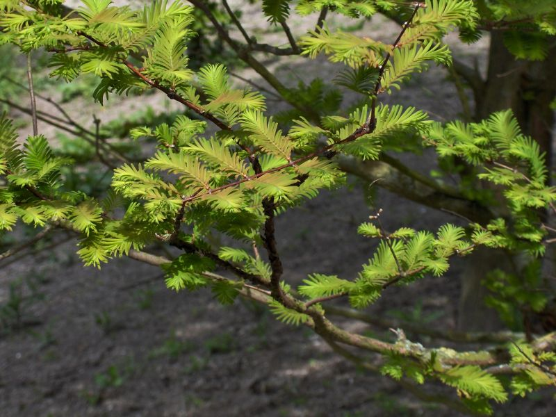 chinese wildlife,  dawn redwood,  Metasequoia glyptostroboides