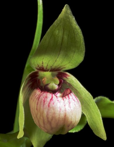 chinese wildlife, Dwarf slipper orchid,  Cypripedium debile