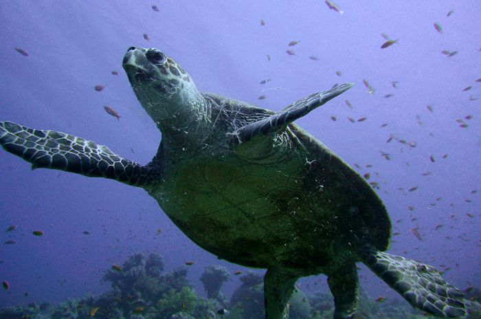 chinese wildlife, hawskbill turtle