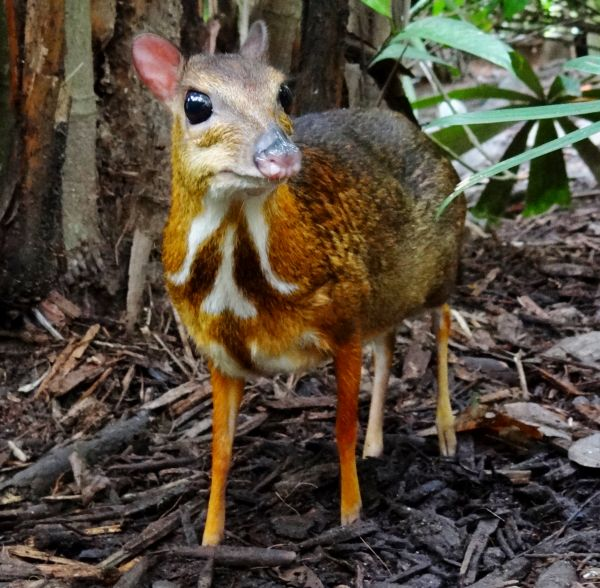 chinese wildlife, Mouse deer, Tragulus kanchil