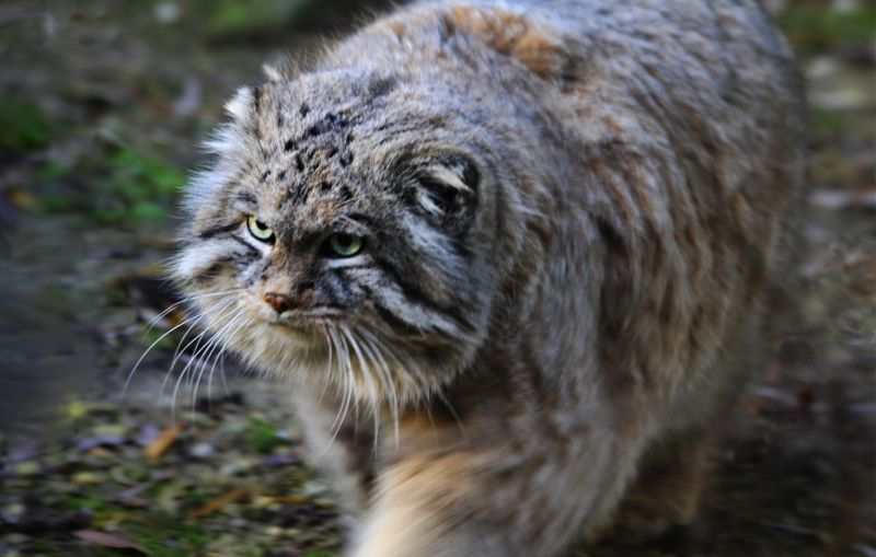 chinese wildlife,  Pallas's Cat,  Manul, Otocolobus manul
