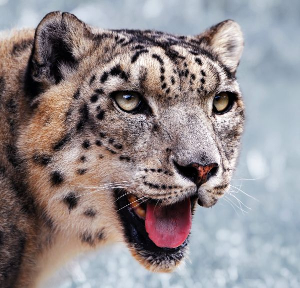 snow leopard, chinese wildlife