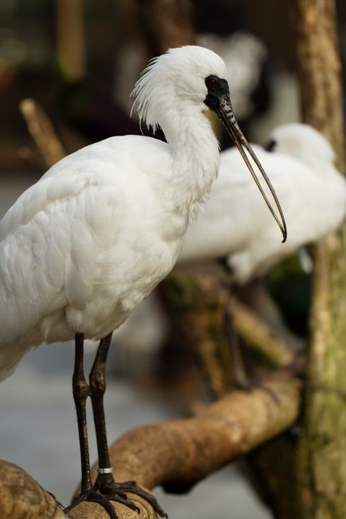 chinese wildlife,  Black-faced Spoonbill,  Platalea minor